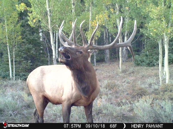 Bull Elk Bugle Henry Pahvant